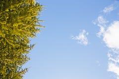 Les branches du sapin contre le ciel bleu image libre de droits