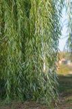 Les branches du saule pleurant Photographie stock
