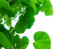Les branches et les feuilles d'arbre sont vertes photos libres de droits