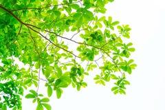 Les branches et les feuilles sont vertes sur un fond blanc Images libres de droits