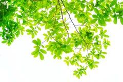 Les branches et les feuilles sont vertes sur un fond blanc photos stock