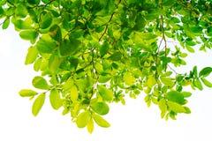 Les branches et les feuilles sont vertes sur un fond blanc Images stock