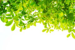 Les branches et les feuilles sont vertes sur un fond blanc Photographie stock libre de droits