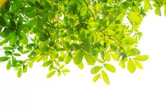 Les branches et les feuilles sont vertes sur un fond blanc Photographie stock