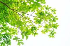 Les branches et les feuilles sont vertes sur un fond blanc Image libre de droits