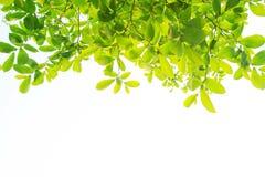 Les branches et les feuilles sont vertes sur un fond blanc Photo libre de droits