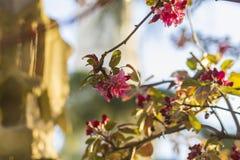 Les branches fleurissantes roses de fond des pommiers jaillissent à Istanbul Image stock