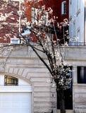 Les branches poussant ont les fleurs blanches photo stock