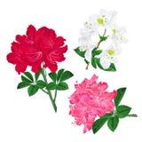 Les branches rouge-rose et l'arbuste de montagne de rhododendron de fleurs blanches sur un fond blanc ont placé le premier edita  Image stock