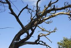 Les branches sèchent l'arbre sur le fond de ciel bleu Images libres de droits