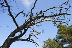 Les branches sèchent l'arbre sur le fond de ciel bleu Photo libre de droits