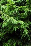 Les branches vertes d'un arbre ou d'un pin de fourrure peuvent employer comme fond, clo Photos stock