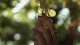 Les bras de femme prennent le groupe de raisins accrochant sur la tige au vignoble banque de vidéos
