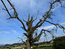 Les bras informes d'un arbre mort photo libre de droits