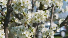 Les brindilles d'arbre avec les pétales blancs se déplacent lentement pendant le ressort de lumière de vent les backgroundbees qu clips vidéos