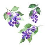 Les brindilles violettes de baies des branches placent, de shadberry ou de groseille photographie stock