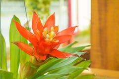 Les bromélias fleurissent beau naturel rouge dans le ligulata scientifique de Guzmania de nom de jardin photo stock