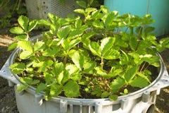 les buissons de fraise verts se développent dans un parterre Jeunes plantes de fraise paysage dans le jardin images libres de droits