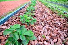 Les buissons des fraises de jardin se développent dans le jardin couvert Photo libre de droits