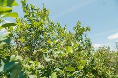 Les buissons des myrtilles au-dessus du ciel bleu Photo stock