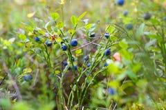 Les buissons des myrtilles se développent dans la forêt photos libres de droits