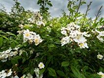Les buissons fleurissants de sauvage se sont levés Images libres de droits