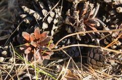 Les cônes tombés-vers le bas de pin dans le bois couvert de lumière du soleil Image libre de droits