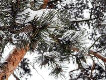 Les cônes sur le pin images stock