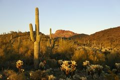les cactus de l'Arizona mettent en place des montagnes près du vautour wic Images libres de droits