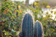 Les cactus Pilosocereus Ulei existe seulement dans Cabo Frio, Brésil Photo libre de droits