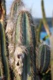 Les cactus Pilosocereus Ulei existe seulement dans Cabo Frio, Brésil Photographie stock
