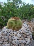 Les cactus sont une famille des usines fleurissantes éternelles photo stock
