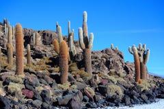 Les cactus sur Isla Incahuasi Photo libre de droits