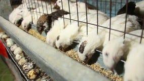 Les cailles de pharaon mangent de la nourriture et pondent des oeufs dans la cage banque de vidéos