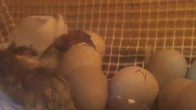 Les cailles nées de poussin choient la naissance de coquille d'oeufs de chiot banque de vidéos
