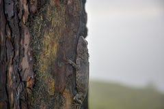 Les caméléons changent la couleur sur la partie brûlée de tronc d'arbre image stock