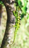 Les caméléons sont endémiques au Madagascar images libres de droits