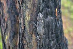 Les cam?l?ons changent la couleur sur le tronc d'arbre br?l? photo stock