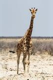 Les camelopardalis de Giraffa s'approchent du point d'eau Image libre de droits