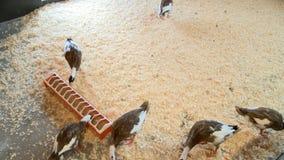 Les canards à l'intérieur regardent dans le zoo banque de vidéos