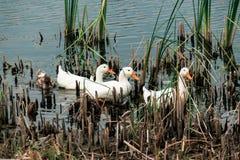 Les canards Photos libres de droits