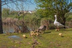 Les canards adultes prennent soin de peu Image stock