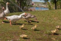 Les canards adultes prennent soin des petits canards, aucun worires Photos stock