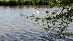 Les canards blancs flottent dans l'eau de la rivière clips vidéos