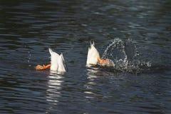 les canards blancs ont plongé dans l'eau avec une éclaboussure Photos libres de droits