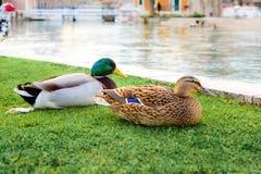 Les canards dans une ville se garent dans Solin, Croatie, appréciant par l'eau Photos libres de droits