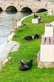 Les canards dans une ville se garent dans Solin, Croatie, appréciant par l'eau Images stock