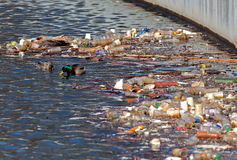Les canards de forager s'approchent des ordures recyclables. Photos stock