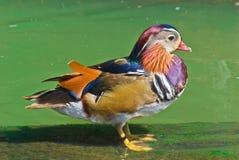 Les canards de mandarine Photographie stock