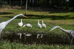 Les canards domestiques blancs, le héron de Great White, et le héron bleu partagent un étang peu profond photo stock